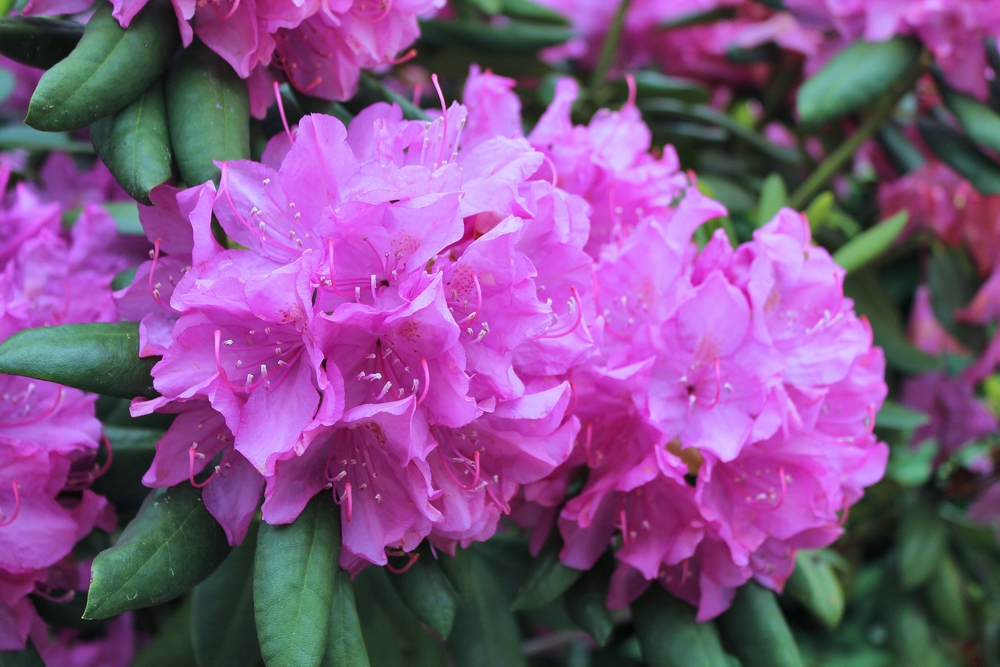 Looking for rhododendrons near Newton? Visit Derwen Wholesale and shop yours online!