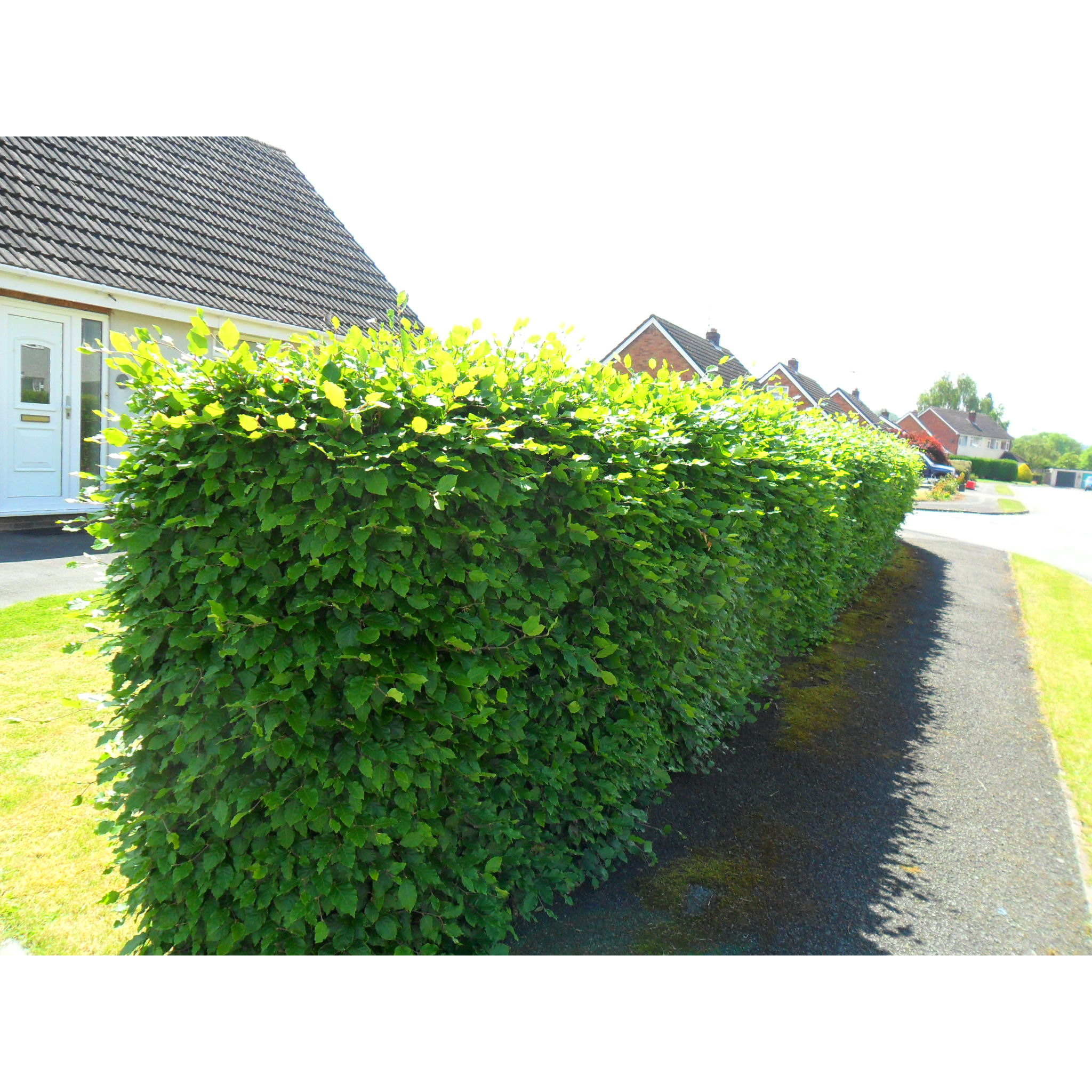Looking for hedging plants in Guilsfield? Shop your hedging plants online at Derwen Wholesale!