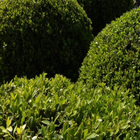 Buxus sempervirens (Box) - Ball 30 cm