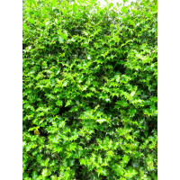 Ilex aquifolium (Holly) -  Rootballed Available November to March - RB 150 - 175 cm - image 1