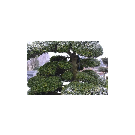 Ilex crenata bonsai Cloud Trees