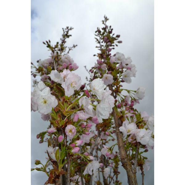 Prunus Serrulata Amanagowa 10l Pot Derwen Wholesale